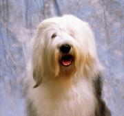Dog Head Posters - Old English Sheepdog Poster by The Irish Image Collection