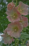 Hollyhocks Photos - Old-Fashioned Summer by ShaddowCat Arts - Sherry