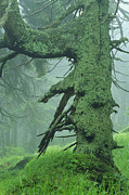 Fir Trees Photos - Old Fir Tree With Moss by Norbert Rosing