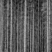 Black And White Photography Photos - Old Forrest by Kristian Westgård