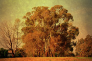Photo Manipulation Photo Framed Prints - Old Gum Tree Framed Print by Zeana Romanovna