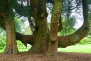 Big Tree Photos - Old huge tree by Heiko Koehrer-Wagner