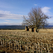 Corn Prints - Old hut isolated in a field. Auvergne. France Print by Bernard Jaubert
