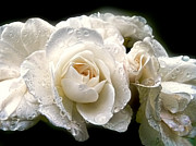 White Roses Prints - Old Lace Rose Bouquet Print by Jennie Marie Schell