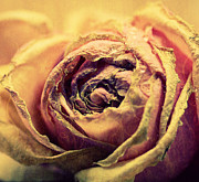 Pink Rose Photos - Old Love by Kristin Kreet