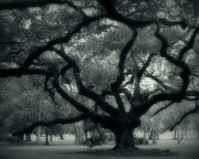 Oak Alley Plantation Photo Prints - Old Oak Print by Perry Webster