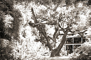 Surreal Infrared Sepia Nature Prints - Old Oak Tree Print by Barry Jones