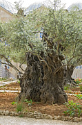 Olives Photo Posters - Old Olive trees Gethsemane Jerusalem Poster by Ilan Rosen