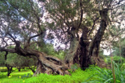 Olives Photo Posters - Old Olive Trees Poster by Manolis Tsantakis