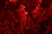 Fall Leaves Photos - Old Red by Marjorie Imbeau