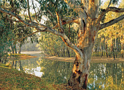 Eucalyptus Tree Prints - Old River Red Gum (eucalyptus Camaldulensis) By A Murray River Billabong At Corowa, New South Wales, Australia Print by Peter Walton Photography