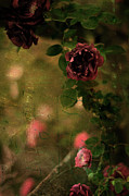 Mauve Roses Photo Acrylic Prints - Old Roses Acrylic Print by Rebecca Sherman