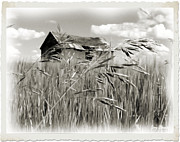 Old Barn Drawing Prints - Old Shanty on the Prairie os1 Print by Garry Staranchuk