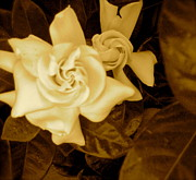 Gardenias Photos - Old Time Gardenias by Bryan Tinsley