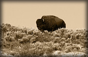 Bison Prints - Old Timer Print by Shane Bechler