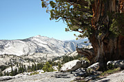 Clear Sky Art - Old Tree At Yosemite National Park by Mmm