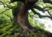 Old Tree In Kyoto Print by Carol Groenen
