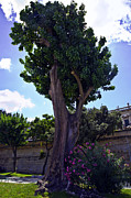 Sicily Prints - Old Tree in Palermo Print by Madeline Ellis