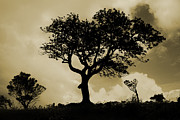 Backlit Prints - Old Tree On The Ridge Print by Steeve Dubois