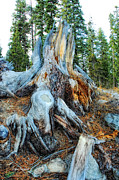 Tree Roots Prints - Old Warrior Print by Donna Blackhall