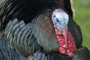 Florida Wild Turkey Prints - Old Wild Tom Print by Susan A Walton