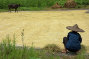 Scrutiny Photos - Old woman checking harvested rice drying by Sami Sarkis