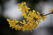 Forsythia Photos - Old Yeller  by Trish Tritz