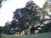 Oldest Living Tree Posters - Oldest Living Oak Tree Poster by Richard Stillwell