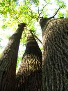 Tulip Pics Photos - Oldgrowth Tulip Tree by Joshua Bales