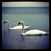 Photoport Art - Oldie But Goodie #canada #home #swan by Natalia D