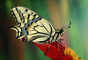 Papilionidae Prints - Oldworld Swallowtail Papilio Machaon Print by Jef Meul