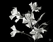 Flower Photos Framed Prints - Oleander in Black and White Framed Print by Endre Balogh