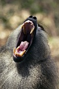 Open-mouthed Posters - Olive Baboon Alpha Male Poster by Peter Chadwick