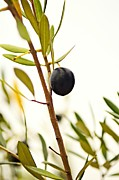 Black Olive Framed Prints - Olive Branch Framed Print by Dean Harte