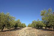 Olives Photo Posters - Olive Grove Poster by Carlos Dominguez