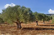 Landscape In Israel Prints - Olive Grove in Galille Print by Noam Armonn
