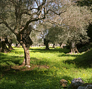 Olive Grove Framed Prints - Olive grove in Spring Framed Print by Paul Cowan