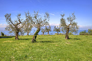 Olives Framed Prints - olive grove on Lake Gardan Framed Print by Joana Kruse