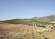 Olive Groves Print by Carlos Dominguez