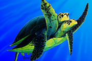 Turtle Rescue Painting Originals - Olive Ridley Sea turtle by Michael Cranford