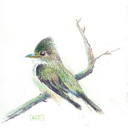 Olive Green Drawings Posters - Olive-Sided Flycatcher Sketch Poster by Tina McCurdy