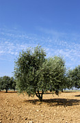 Farm Land Art - Olive tree in Provence by Bernard Jaubert