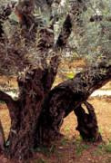 Olive Grove Posters - Olive Tree in The Garden of Gethsemane Poster by Thomas R Fletcher