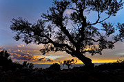 Silhouetted Metal Prints - Olive Tree Metal Print by Richard Garvey-Williams