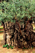 Homeland Posters - Olive Tree the Garden of Gethsemane Poster by Thomas R Fletcher