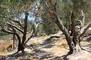 Biblical Originals - Olive Trees at Sebastia by Munir Alawi
