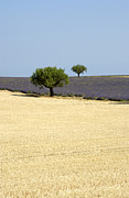 Farm Land Art - Olive trees. Provence by Bernard Jaubert
