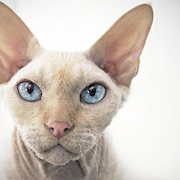 Alien Eyes Photos - Oliver the Devon Rex by Glennis Siverson