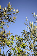 Olive Oil Framed Prints - Olives Framed Print by Carlos Dominguez