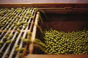 Production Photos - Olives Harvested And Readied by Sisse Brimberg